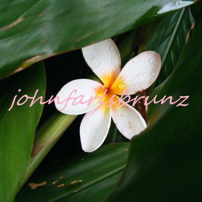 frangipani petal