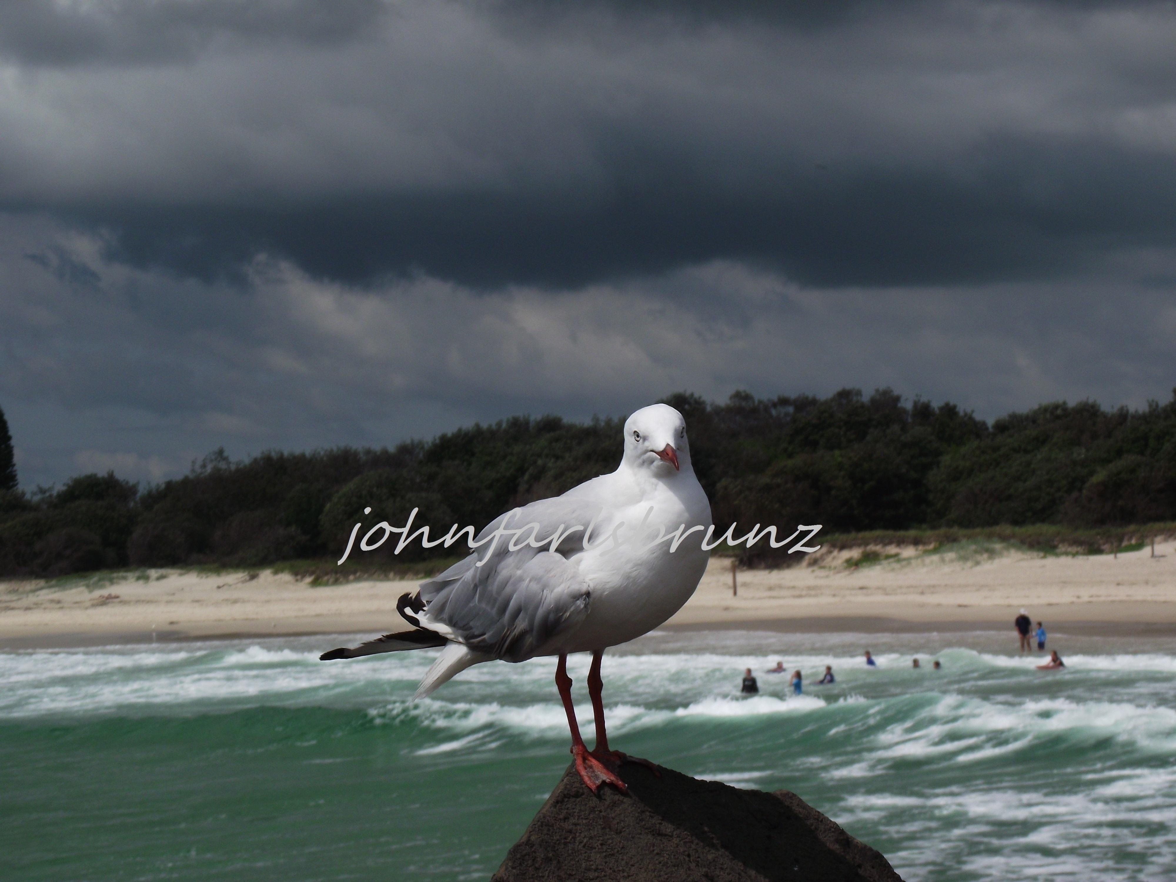 seagull floppy wing
