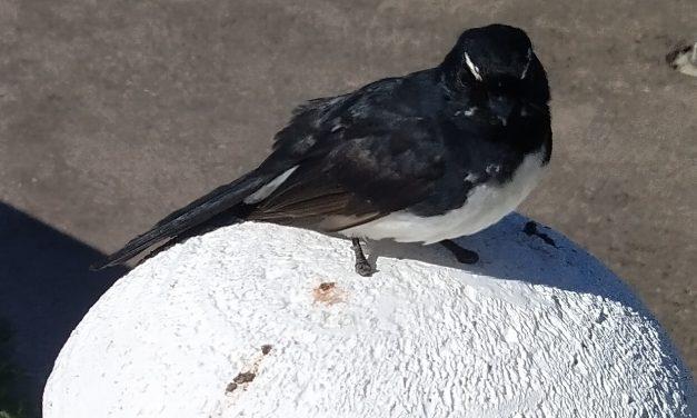 BIRD WATCHING, AUSTRALIAN wILLIE WAGTAIL.